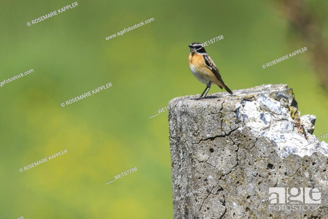 Imagen: Germany, Saarland, Bexbach - A whinchat is sitting on his vantage-point.