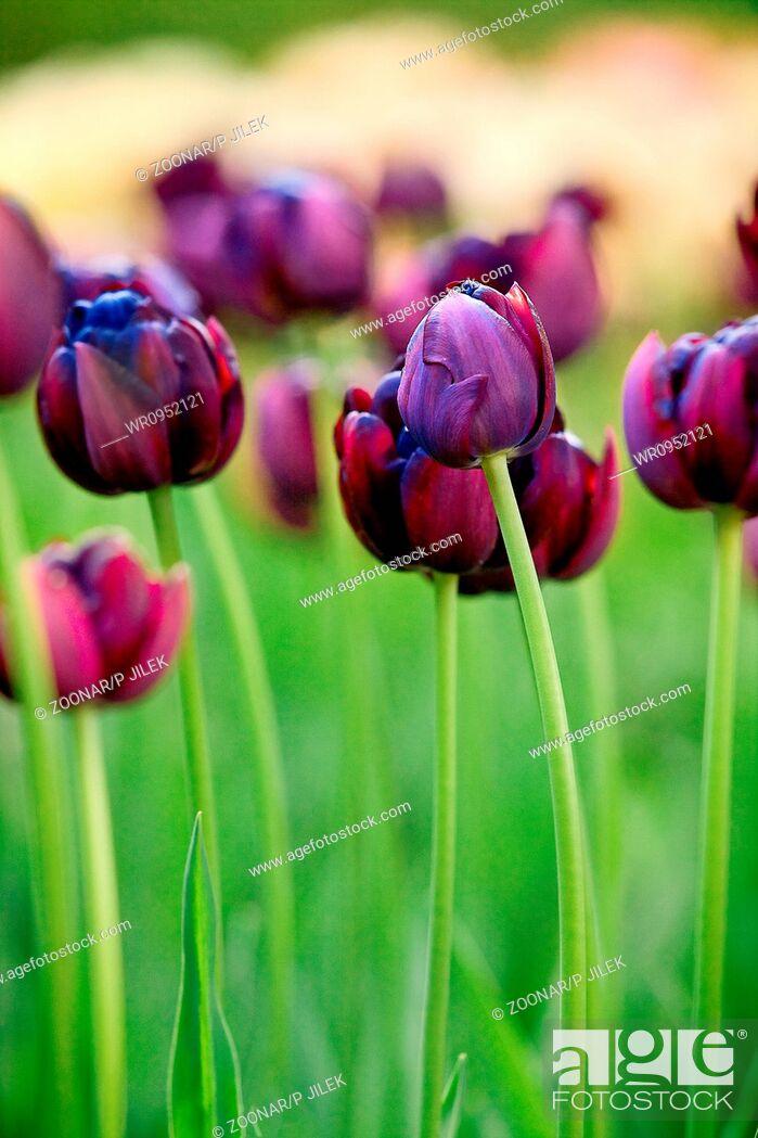 Stock Photo: Beautiful spring tulips in garden.