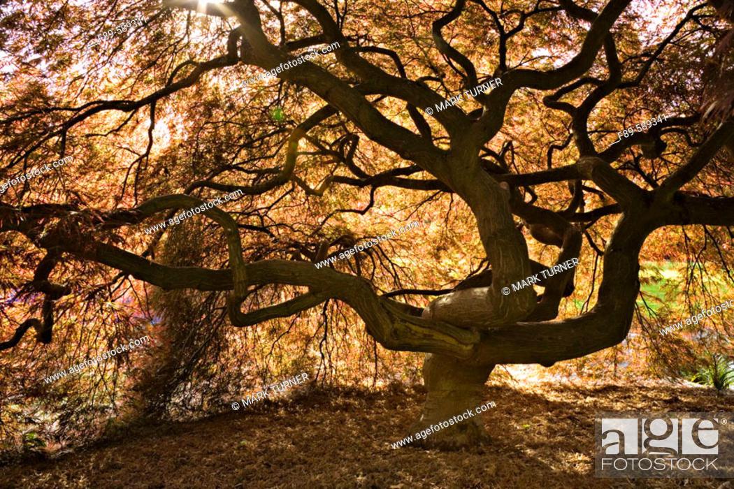 Stock Photo: Japanese Maple contorted trunk, backlit fr below, spring (Acer palmatum 'Dissectum'). Kubota, Seattle, Washington. USA.