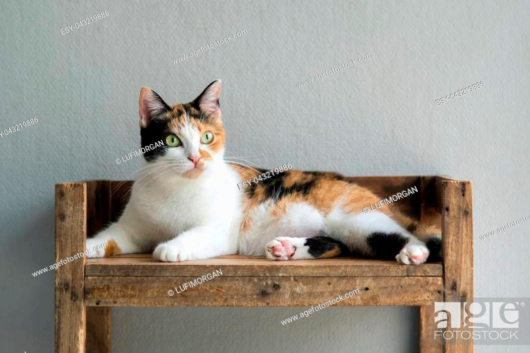 Stock Photo: Cute calico cat lying and looking on old wood shelf.