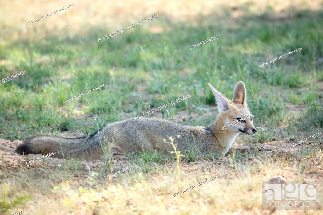 Stock Photo: Cape fox standing in the sand in the Kalagadi Transfrontier Park, South Africa.