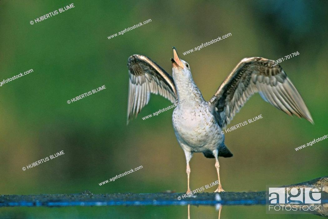 Stock Photo: Herring gull (Larus argentatus).
