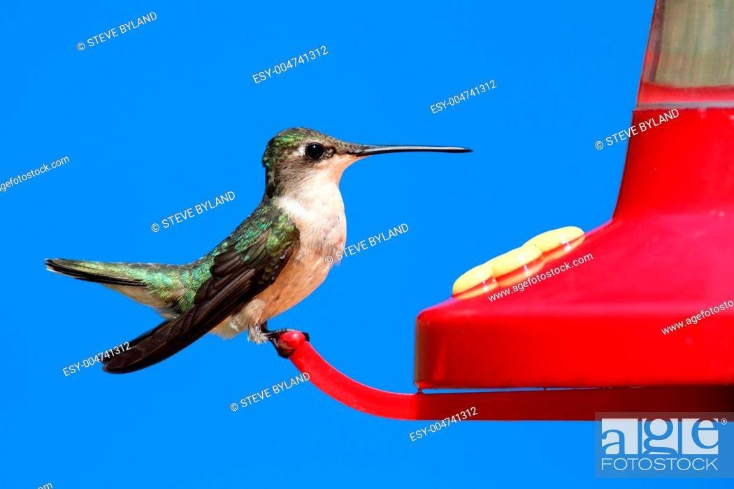 Stock Photo: Female Ruby-throated Hummingbird.
