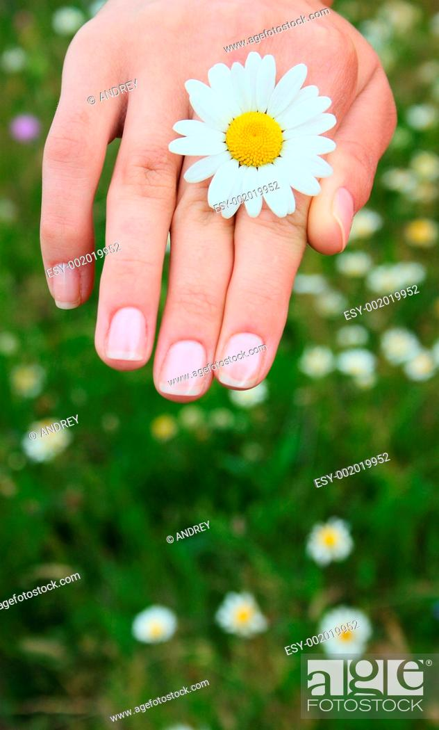 Stock Photo: Camomile in a hand.