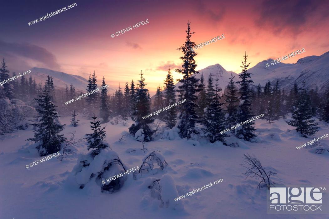 Stock Photo: Coniferous forest in the blizzard in the Lyngen Alps, Norway.