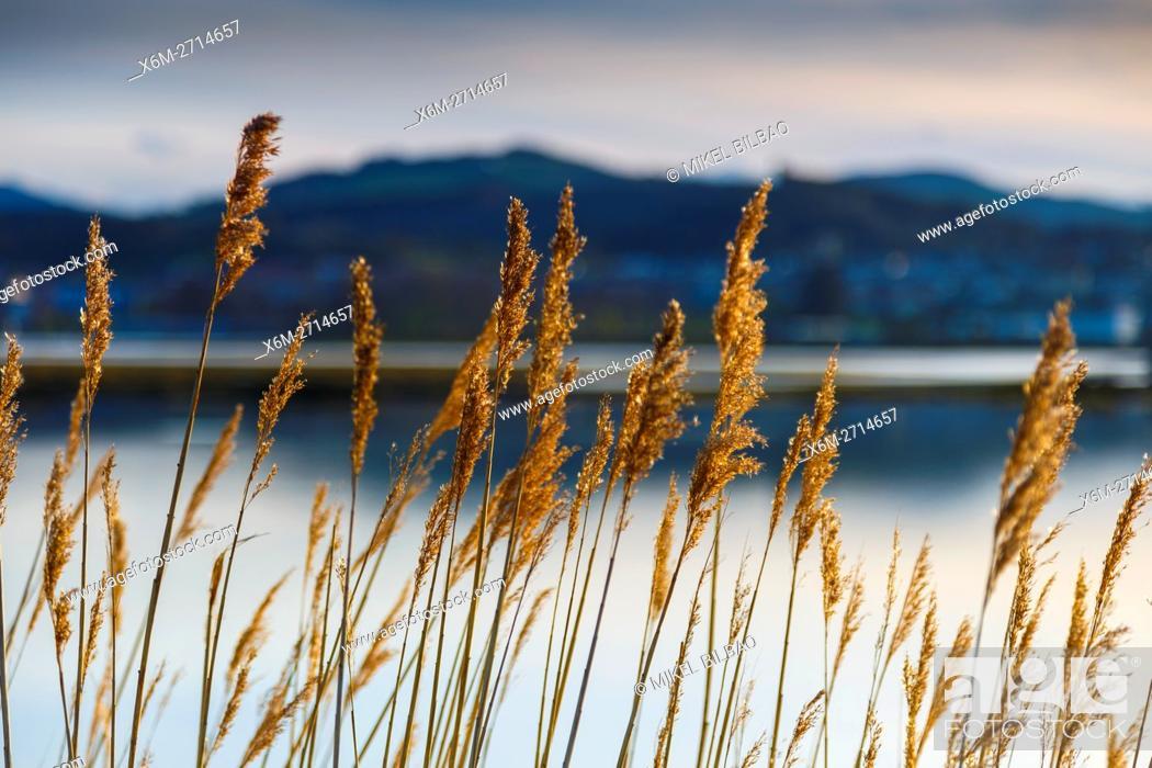 Stock Photo: Common reeds (Phragmites australis). Santoña, Victoria and Joyel Marshes Natural Park. Colindres, Cantabria, Spain.