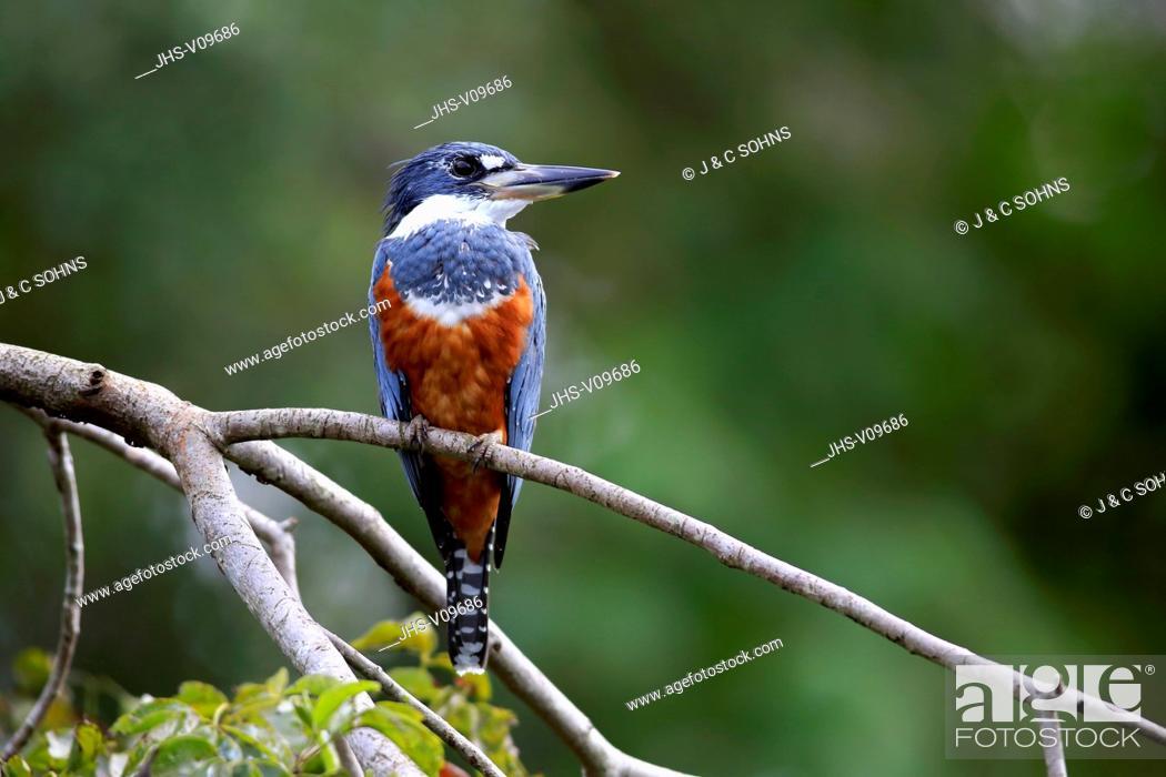Stock Photo: Ringed Kingfisher, (Ceryle torquata), adult on branch, Pantanal, Mato Grosso, Brazil, South America.