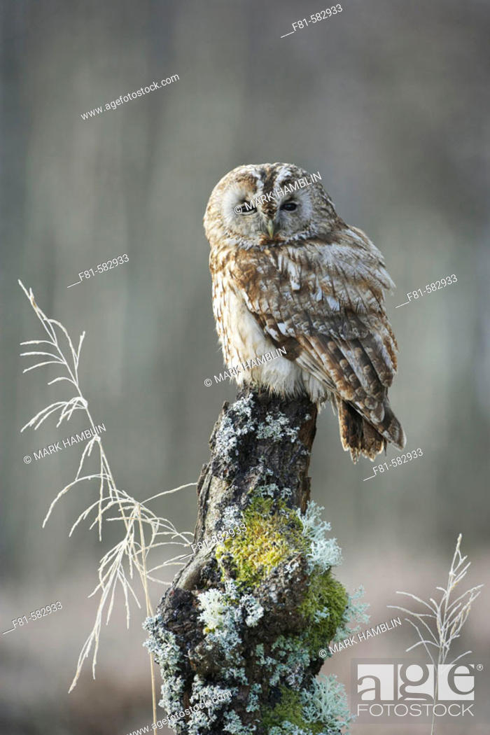 Stock Photo: Tawny owl  (Strix aluco)  adult perched in winter. Scotland. February 2006. (captive-bred).
