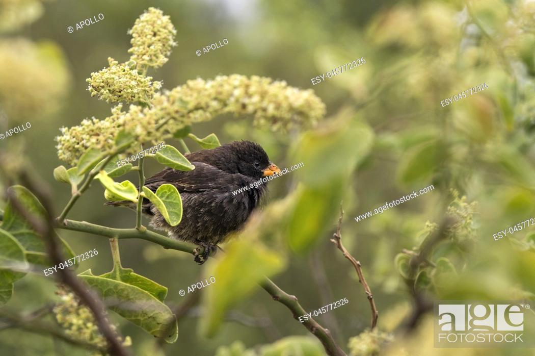 Stock Photo: Small Ground Finch (Geospiza fuliginosa), belongs to the group of Darwin finches and is endemic to Galapagos, Floreana Island, Galapagos Islands, Ecuador.