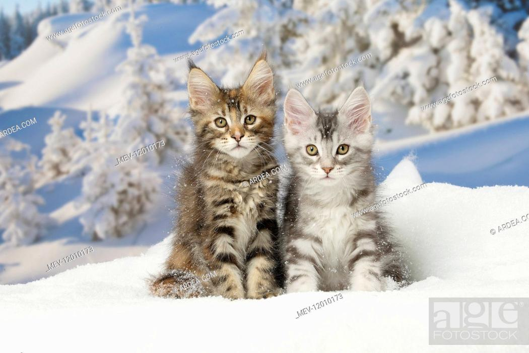 Stock Photo: Maine Coon kittens in the snow in winter.