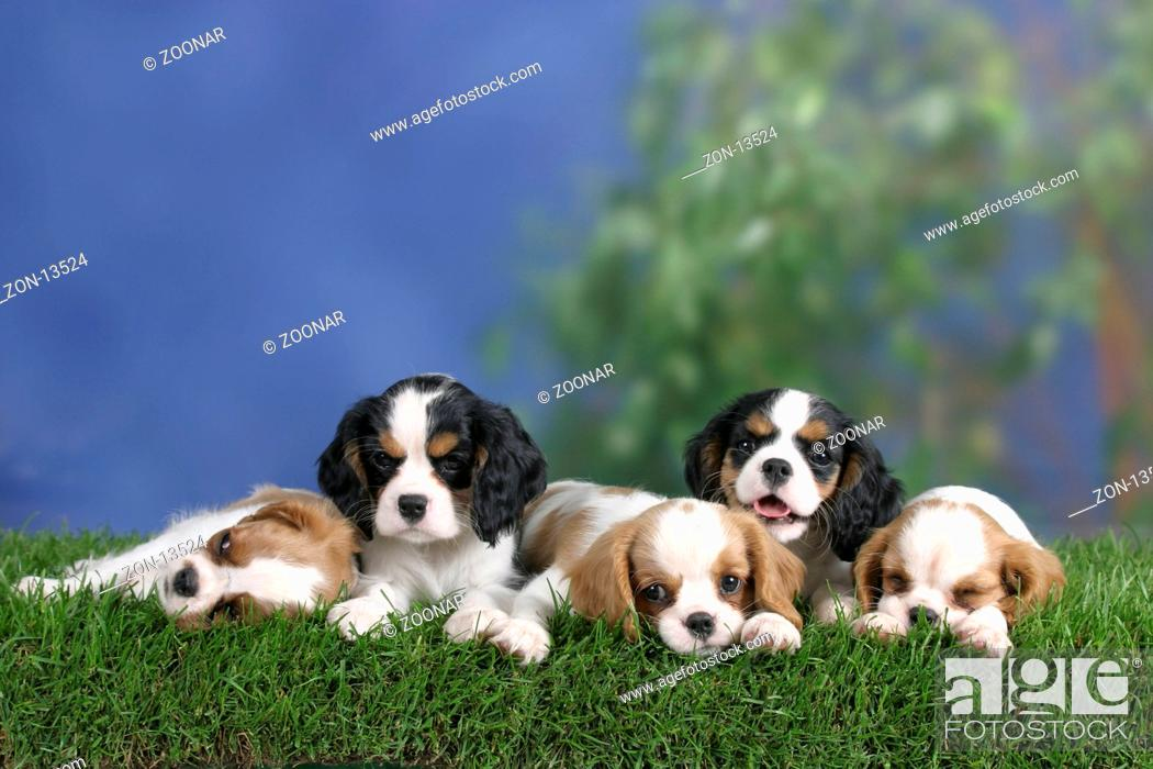 Cavalier King Charles Spaniel Puppies 8 Weeks Tricolour And Blenheim Foto De Stock Imagen Derechos Protegidos Pic Zon 13524 Agefotostock