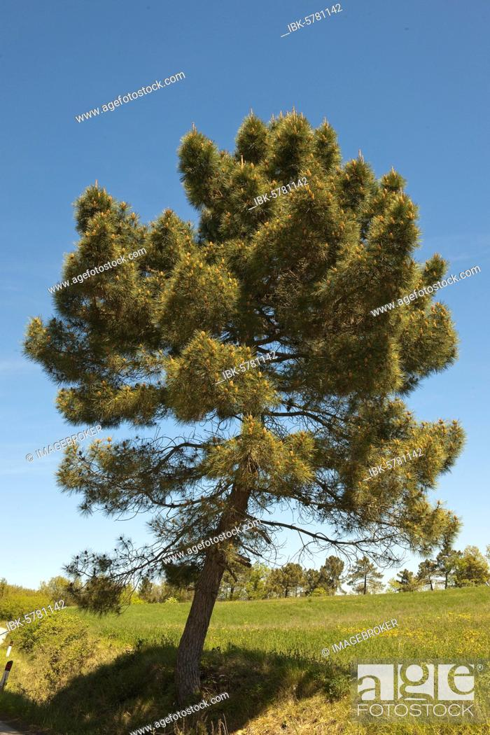 Stock Photo: Aleppo Pine (Pinus halepensis), Tuscany, Italy, Europe.
