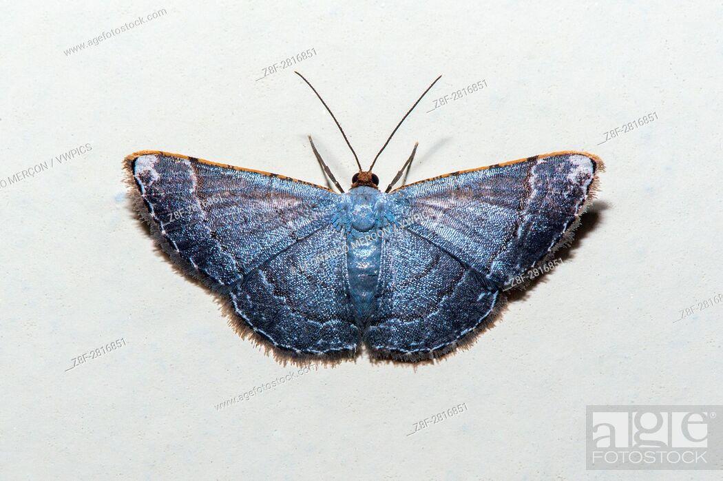 "Stock Photo: Metalic Blue Moth photographed at the """"Cupido e Refúgio Farm"""" in Linhares, Espírito Santo - Southeast of Brazil. Atlantic Forest Biome."