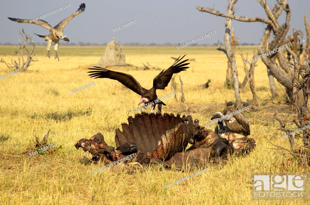 Stock Photo: Hooded Vulture (Necrosyrtes monachus), and Cape Vultures (Necrosyrtes monachus), approaching at the carcass of a Cape Buffalo (Syncerus caffer caffer).
