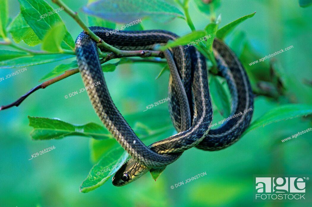 Stock Photo: Common garter snake (Thamnophis sirtalis) Resting in shrub, Ontario, Canada.