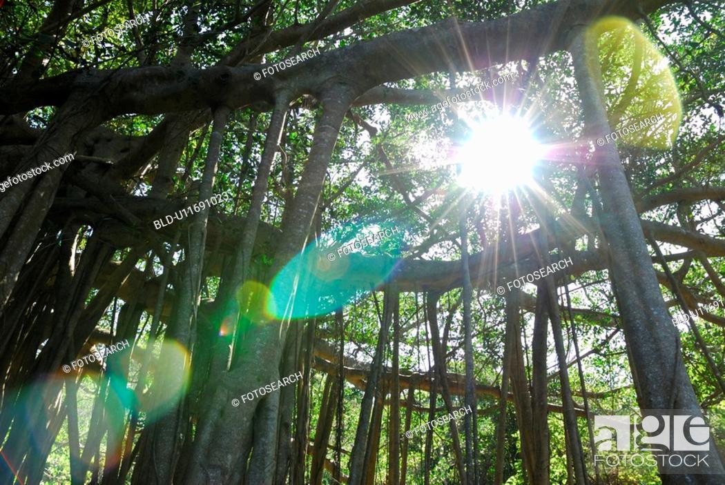 Stock Photo: Tree of Gajumal.