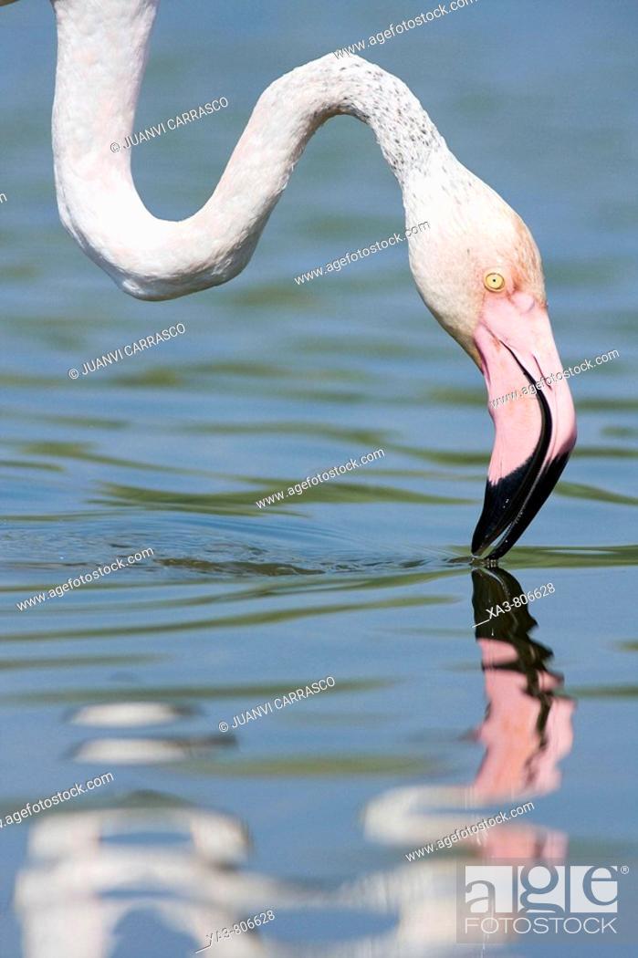 Stock Photo: Flamingo (Phoenicopterus roseus) on lagoon.