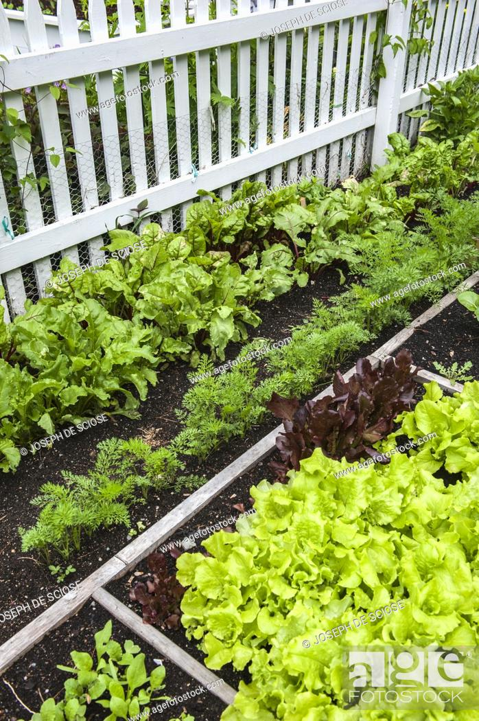 Stock Photo: Multiple varieties of lettuce and salad greens growing in a fenced in vegetable garden.