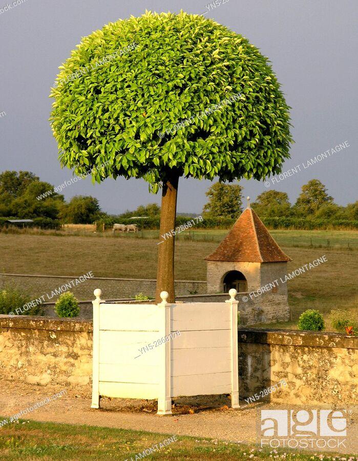 Stock Photo: Oranger en pot des jardins du chateau de Digoine, Palinges, Saone et Loire, Bourgogne, France.