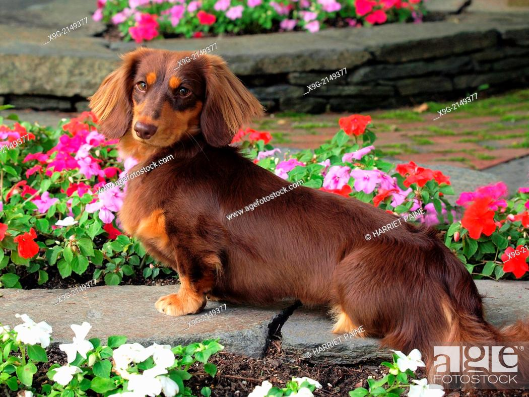 Stock Photo: Dachshund.