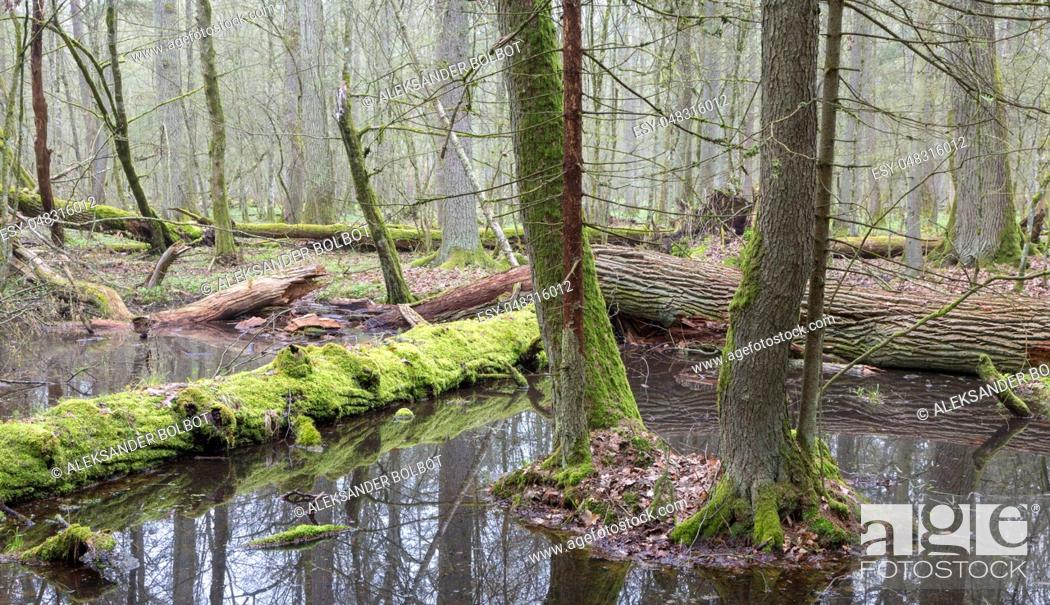 Stock Photo: Springtime wet mixed forest with standing water and dead trees partly declined, Bialowieza Forest, Poland, Europe.