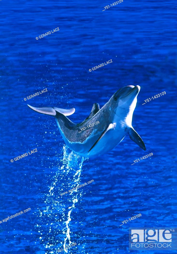 Stock Photo: BOTTLENOSE DOLPHIN tursiops truncatus, ADULT LEAPING OUT OF WATER, HONDURAS.