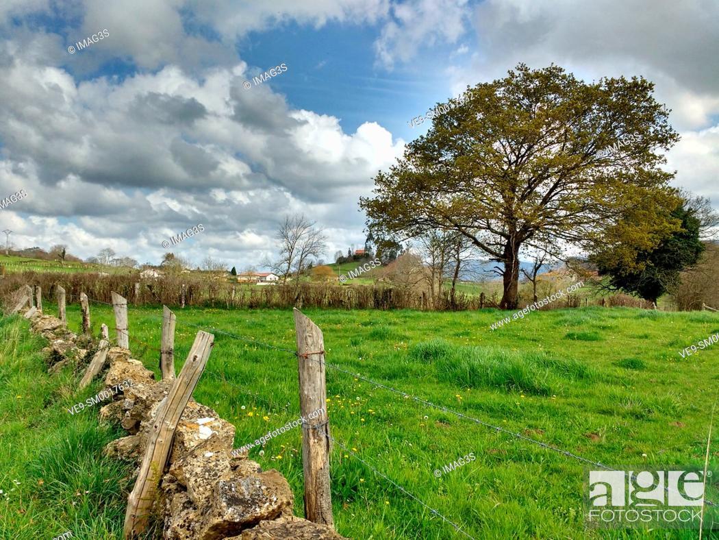 Stock Photo: Oak tree in El Remediu village, Nava municipality, Asturias, Spain.