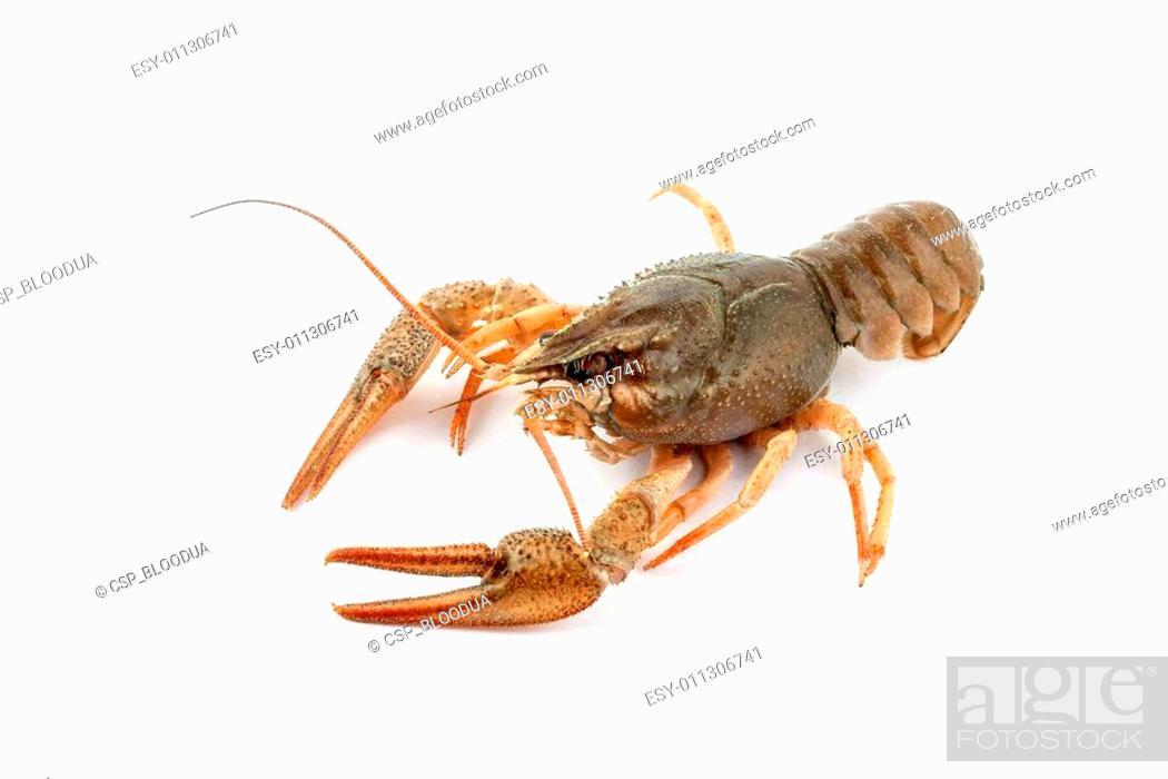 Stock Photo: River raw crayfish.