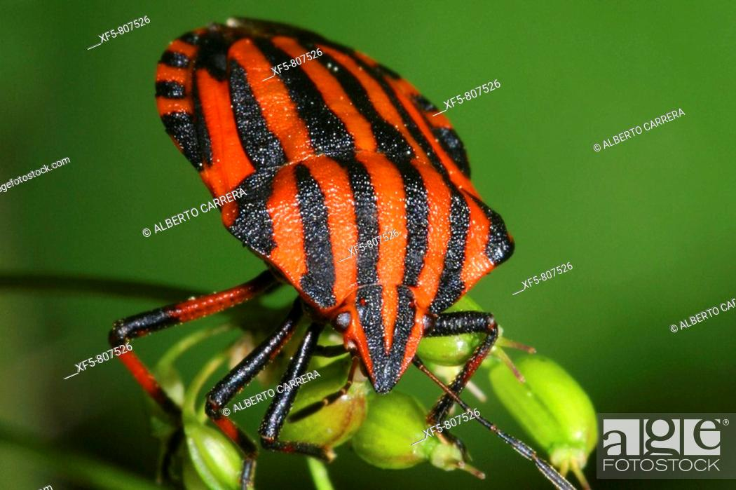 Stock Photo: Striped shield bug on plant.