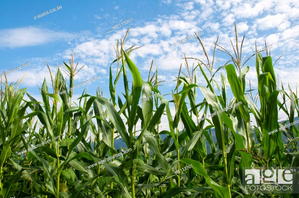 Stock Photo: Maize plant. Asturias, Spain.