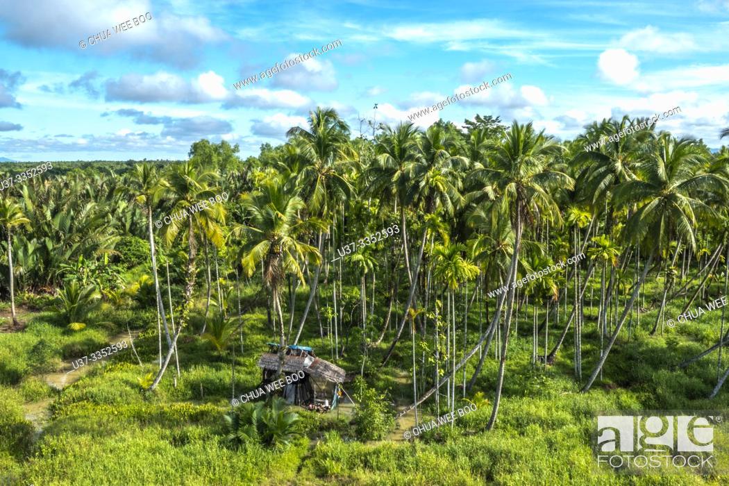 Imagen: Coconut plantation in Kota Samarahan, Sarawak, Malasya.