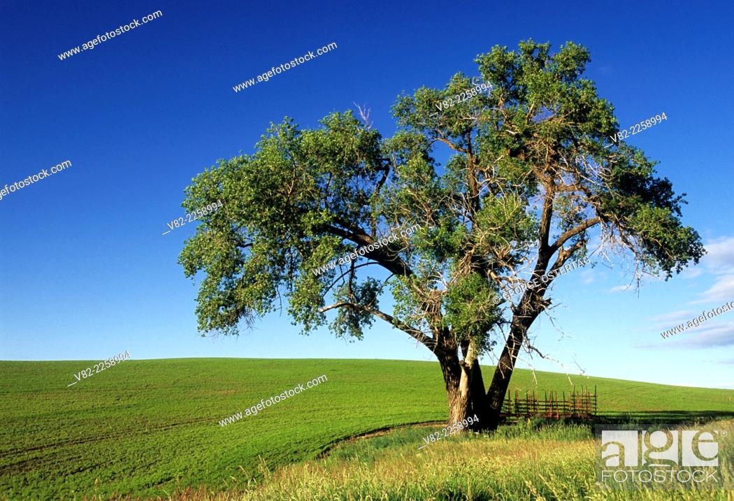 Stock Photo: Palouse cottonwood, Whitman County, Washington.