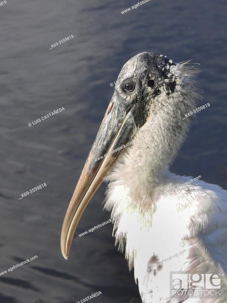 Stock Photo: Wood Stork (Mycteria americana).