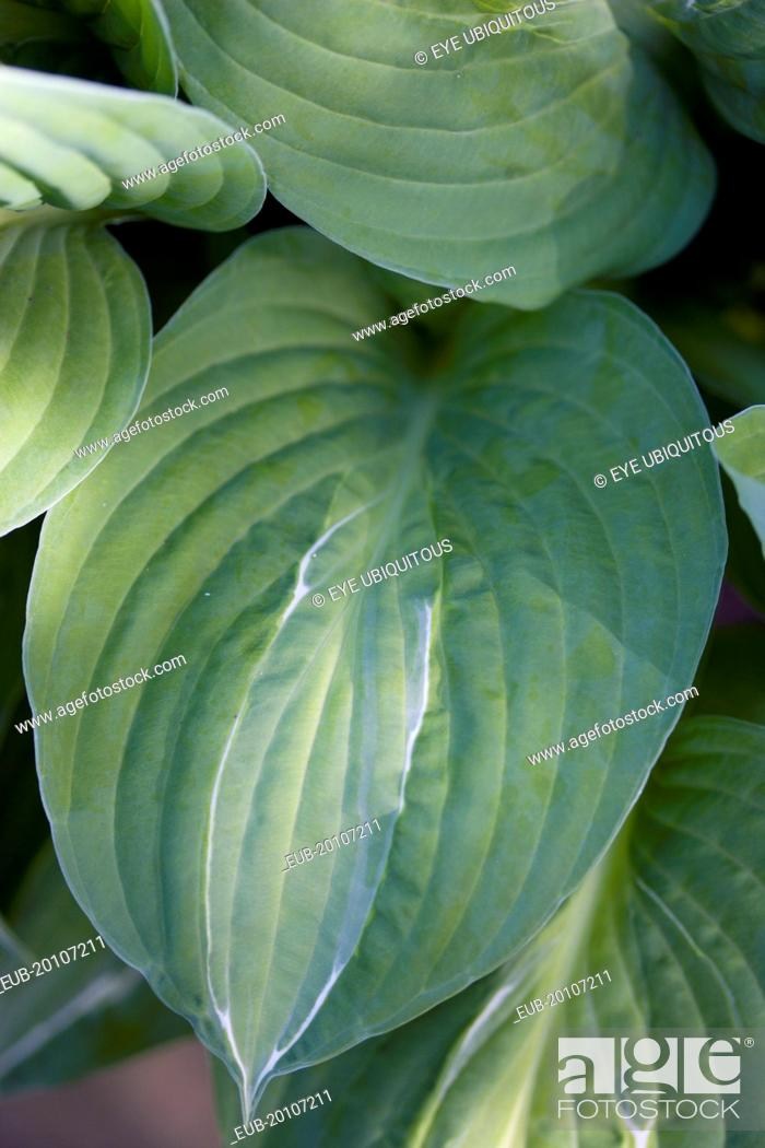 Stock Photo: Green foliage with white strip giving the plant its name.