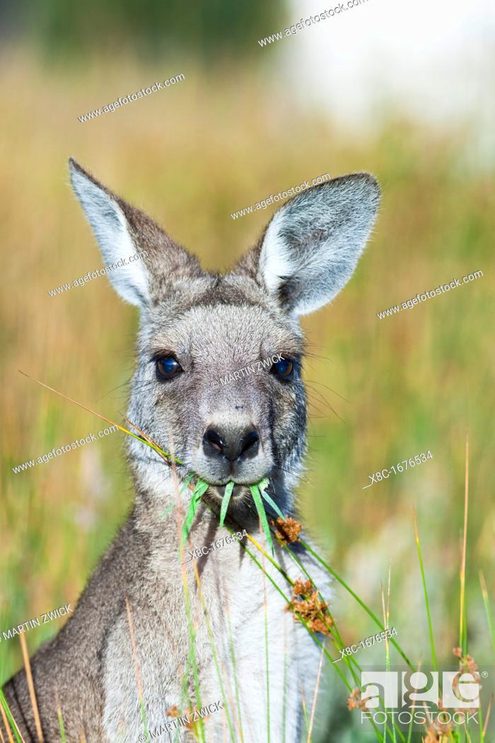 Stock Photo: Eastern grey kangaroo Macropus giganteus, it is the second largest living marsupial and one of the icons of Australia The Eastern grey kangaroo is mainly.