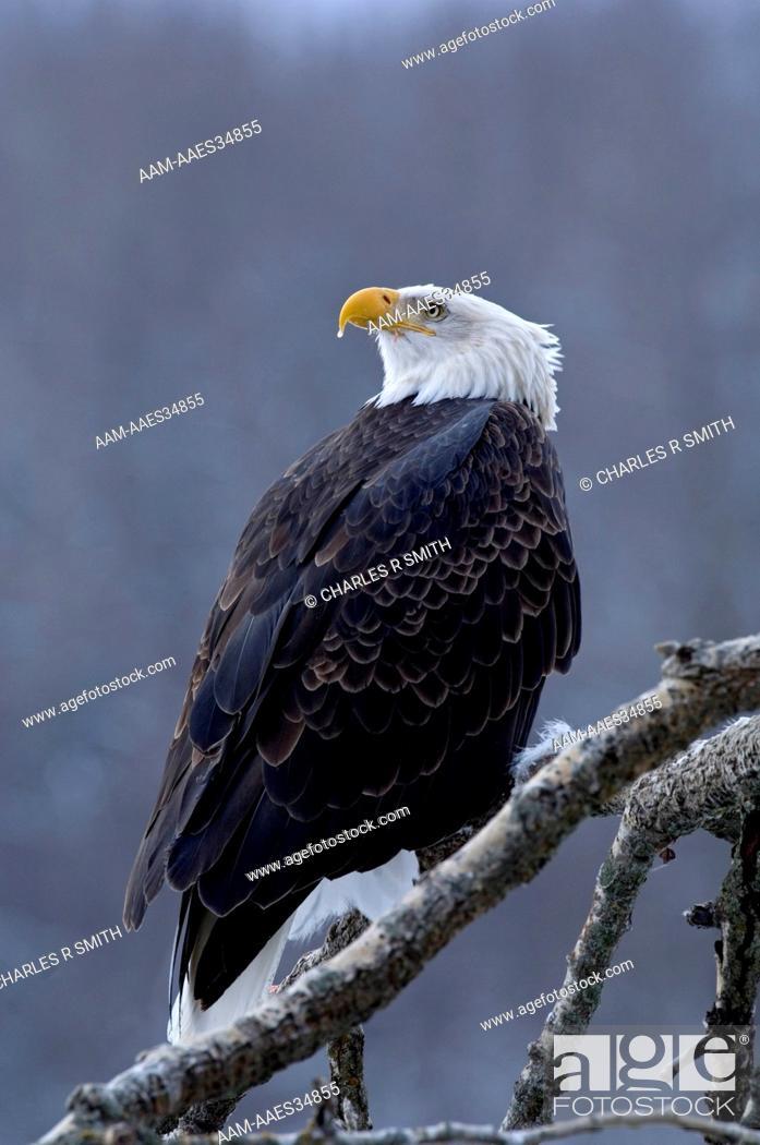 Stock Photo: Bald Eagle perched on tree limb in southeast Alaska 11/14/06 (Haliaeetus leucocephalus).