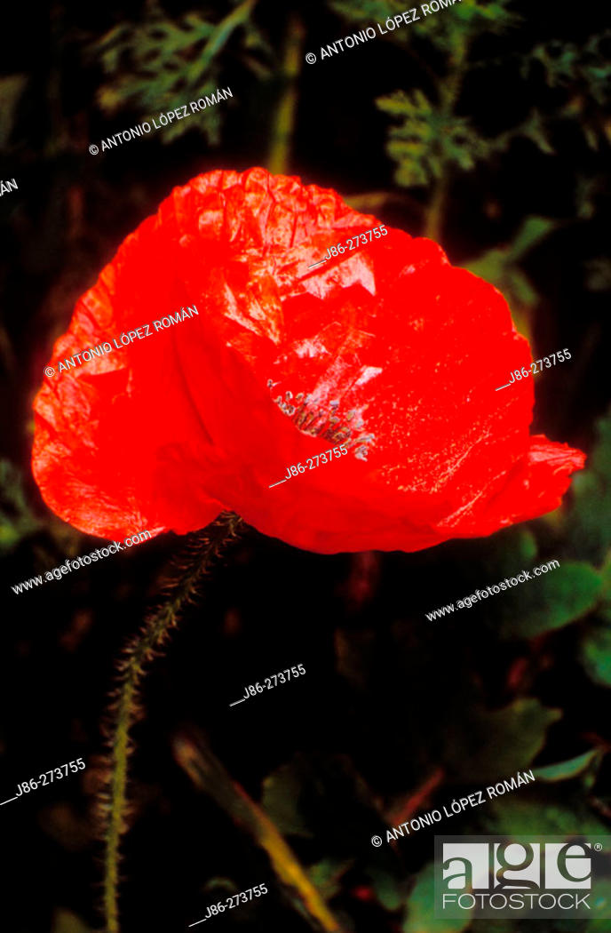 Stock Photo: Flanders Poppy (Papaver rhoeas).