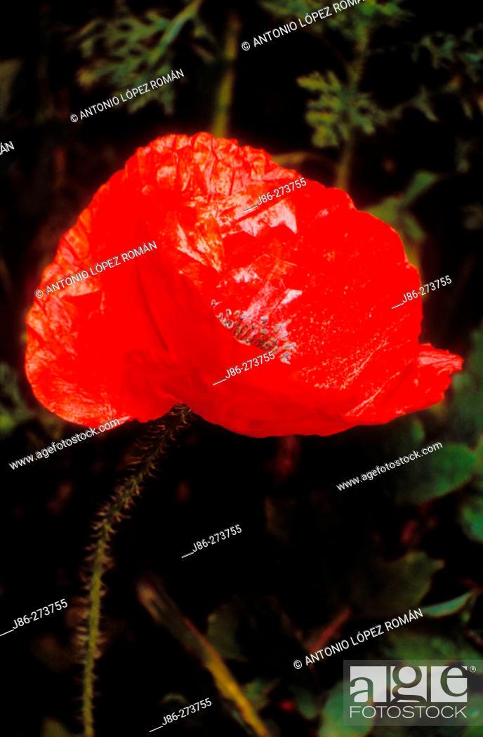 Stock Photo: Flanders Poppy (Papaver rhoeas).