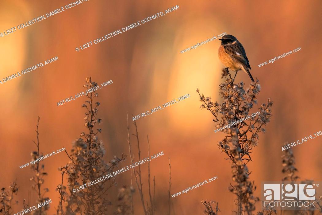 Stock Photo: Male European Stonechat, European Stonechat, Saxicola rubicola.