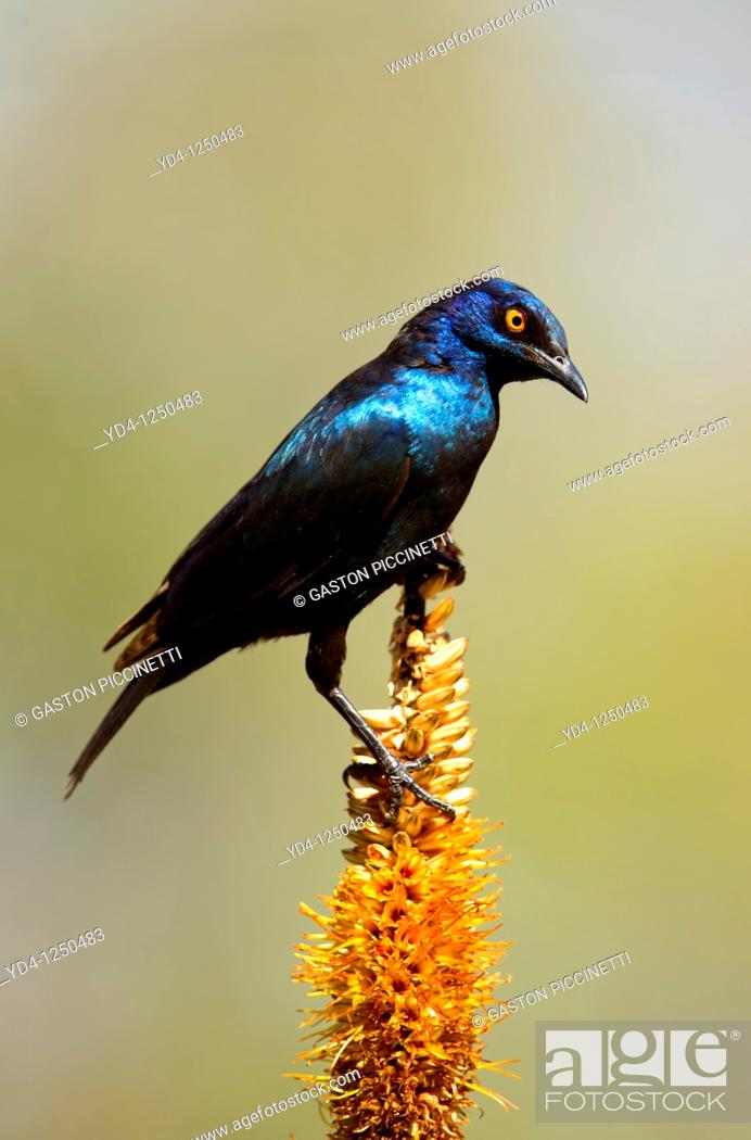 Stock Photo: Cape Glossy starling Lamprotornis nitens, on the Lebombo aloe Aloe sessiliflora, Kruger National Park, South Africa.