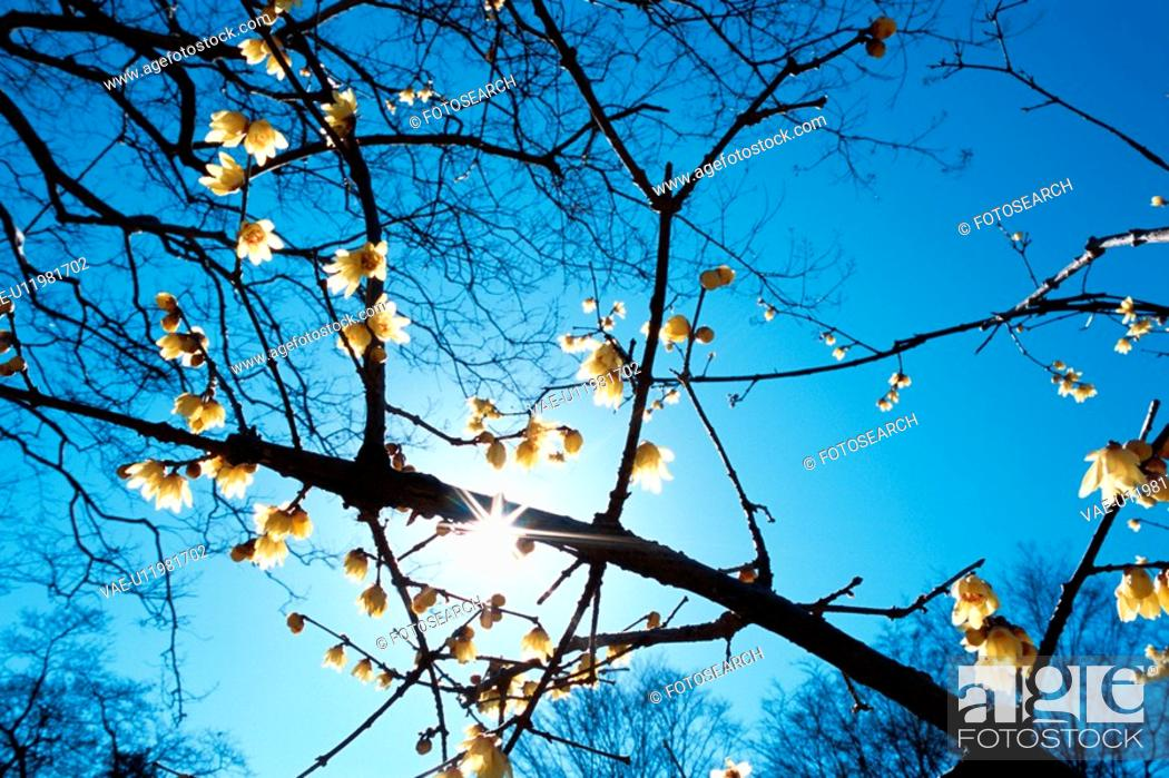 Stock Photo: Sun Behind Flowering Branches.