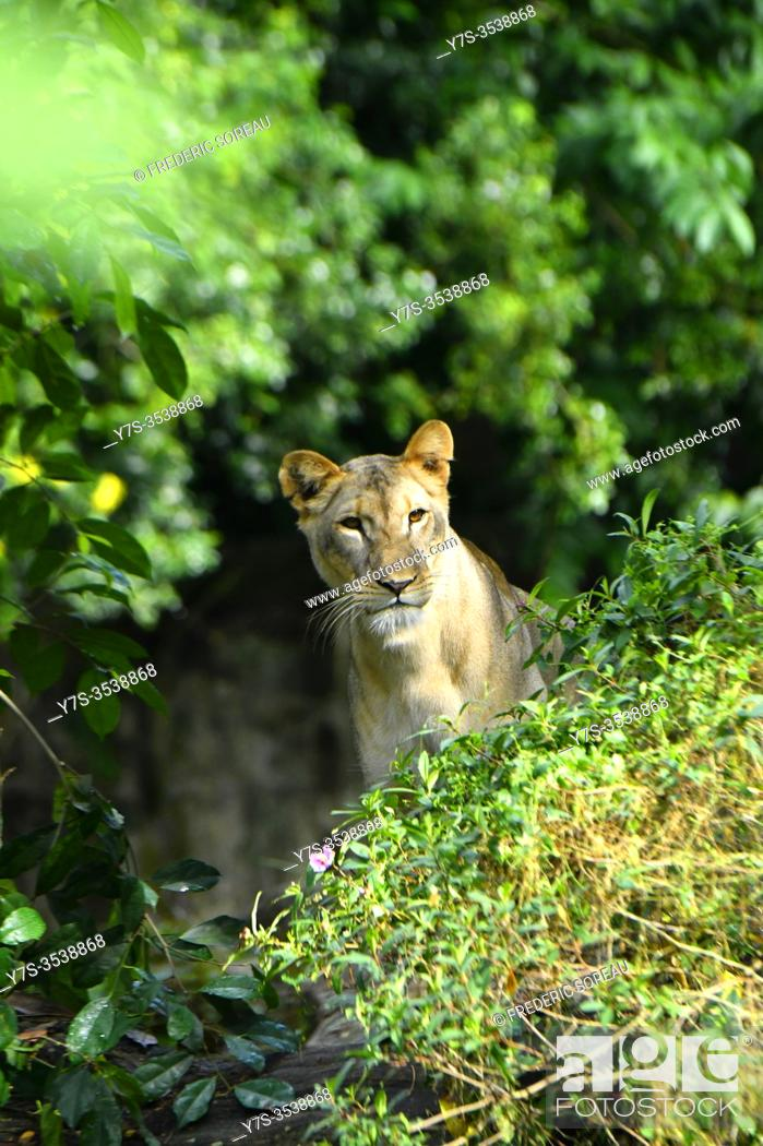 Stock Photo: A female lion (panthera leo) at the Singapore Zoo, Asia.