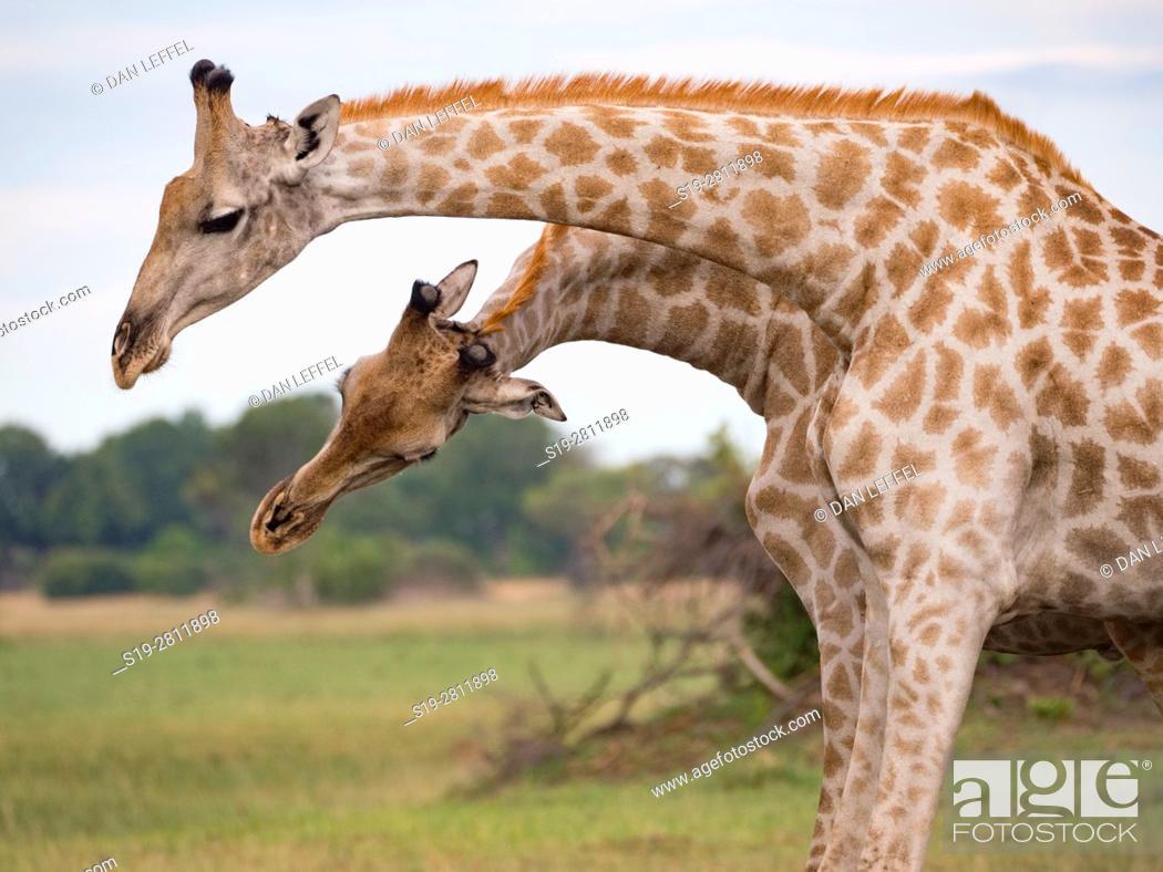 Stock Photo: Botswana. Giraffe.