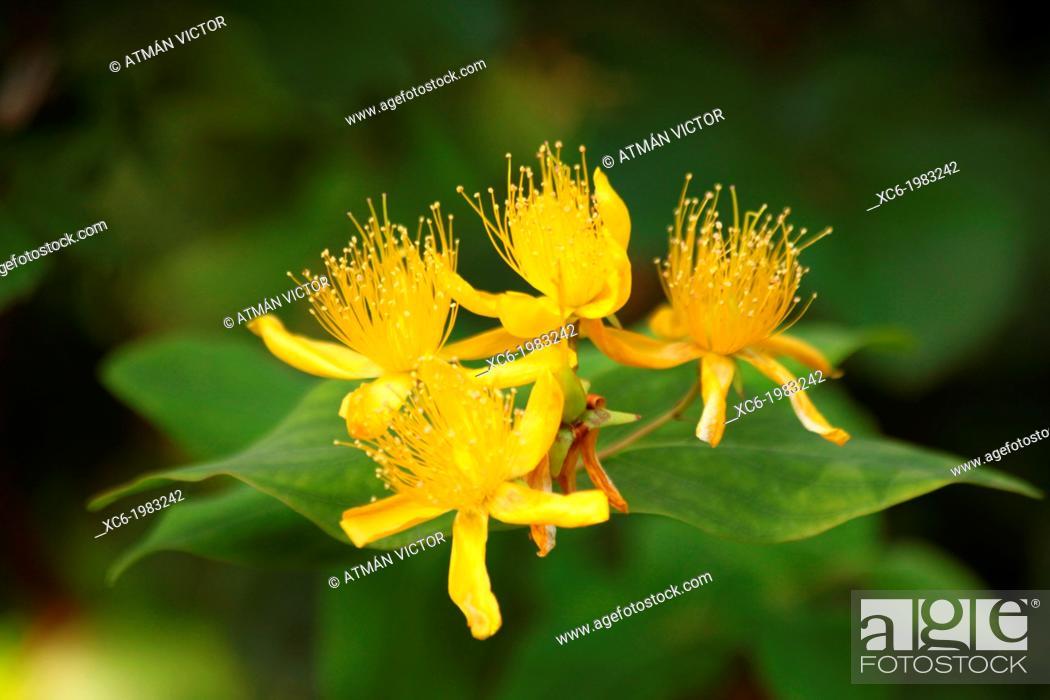 Stock Photo: Maljurada (hypericum grandifolium).
