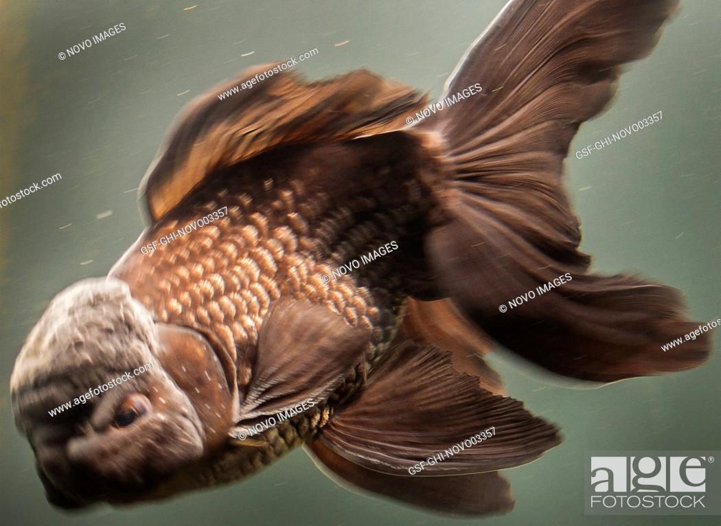 Stock Photo: Oranda Goldfish.