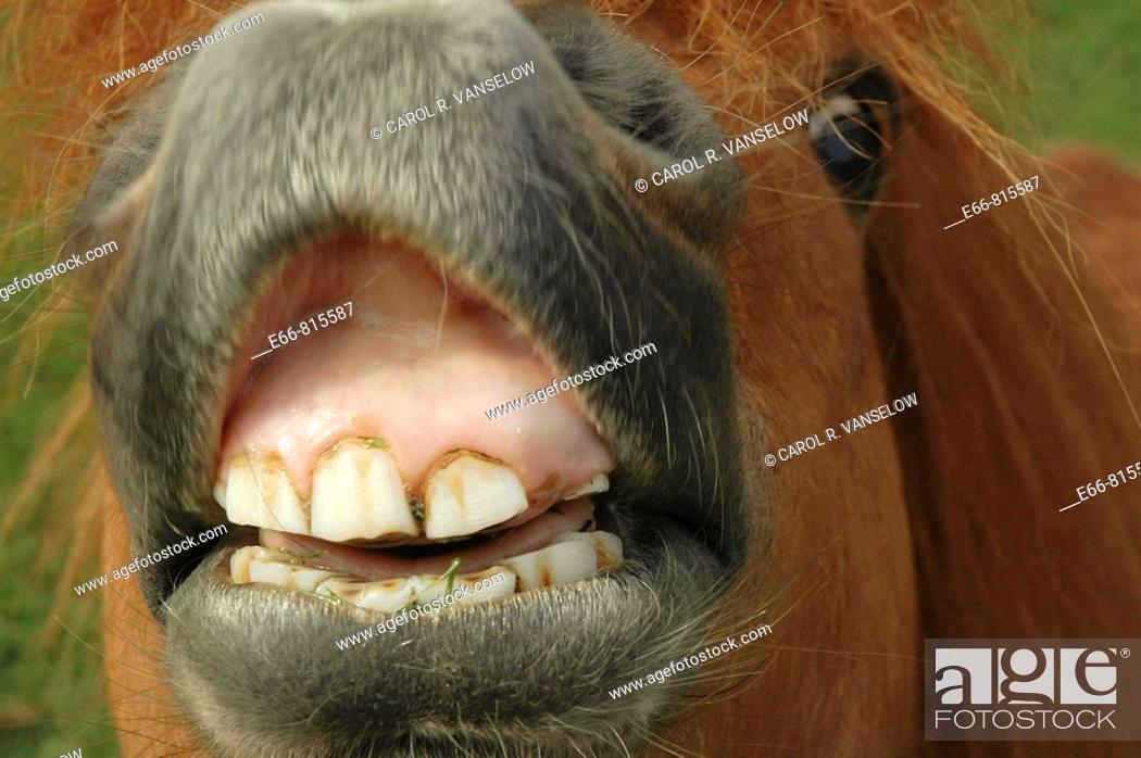 Stock Photo: Closeup of Shetland pony's muzzle and teeth trying to eat the camera.