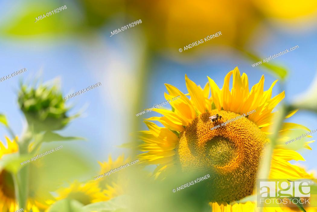 Stock Photo: Insects in the sunflower field under blue sky.