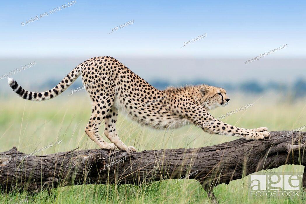 Imagen: Cheetah (Acinonix jubatus) stretching on fallen tree, Maasai Mara National Reserve, Kenya.