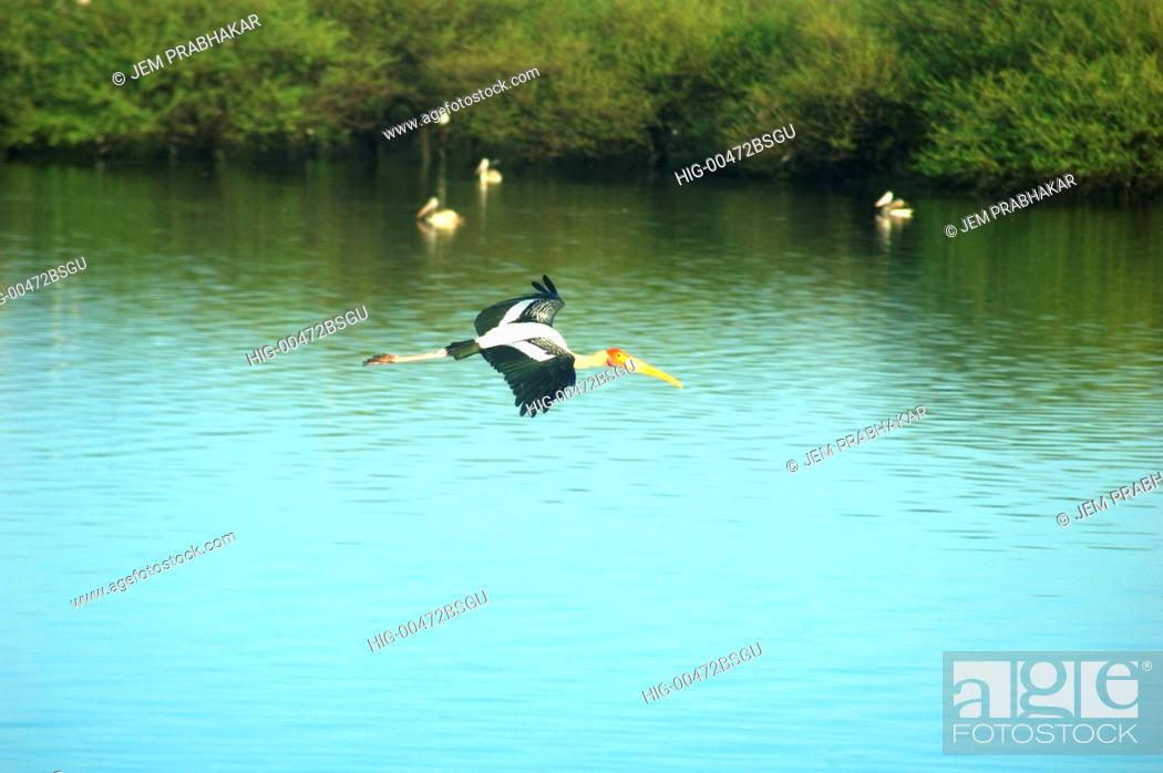 Imagen: PAINTED STORK IN FLIGHT IN KOONTHAKULAM BIRD SANCTUARY NEAR TIRUNELVELI, TAMILNADU, INDIA.