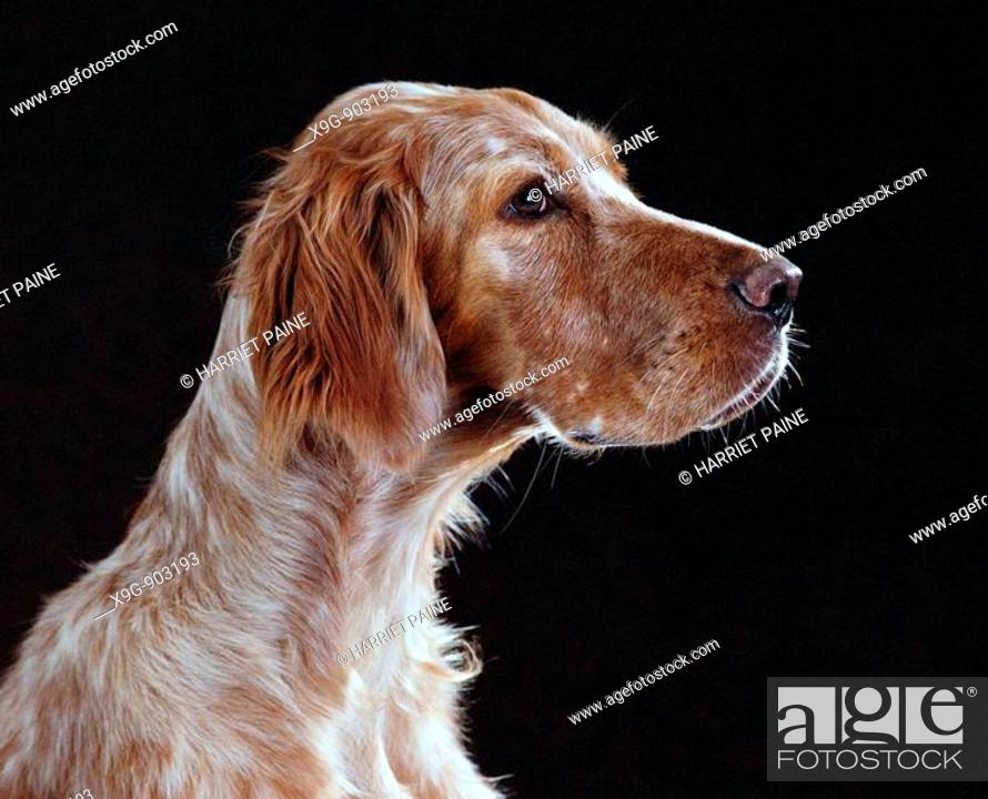 Stock Photo: English Setter.